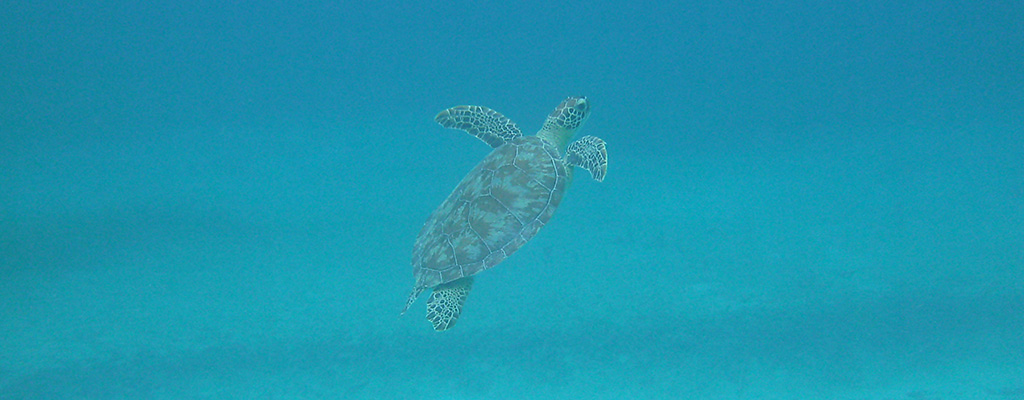 Culebra&#8217;s Turtles