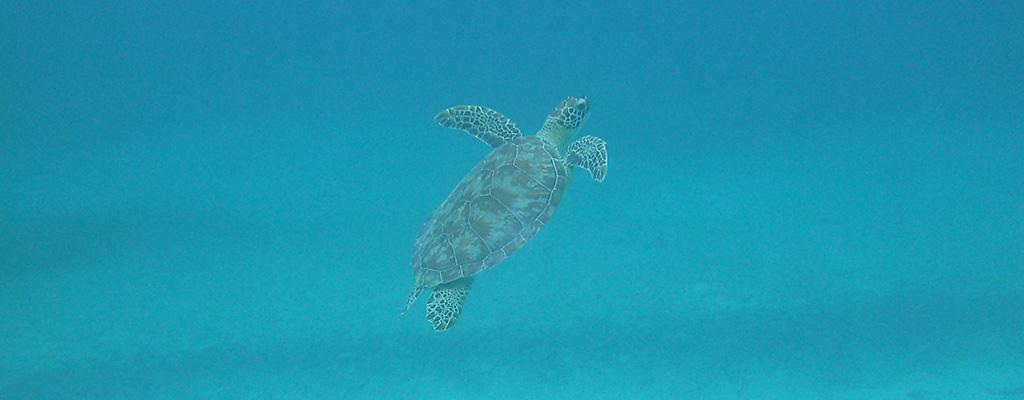 Culebra's Turtles